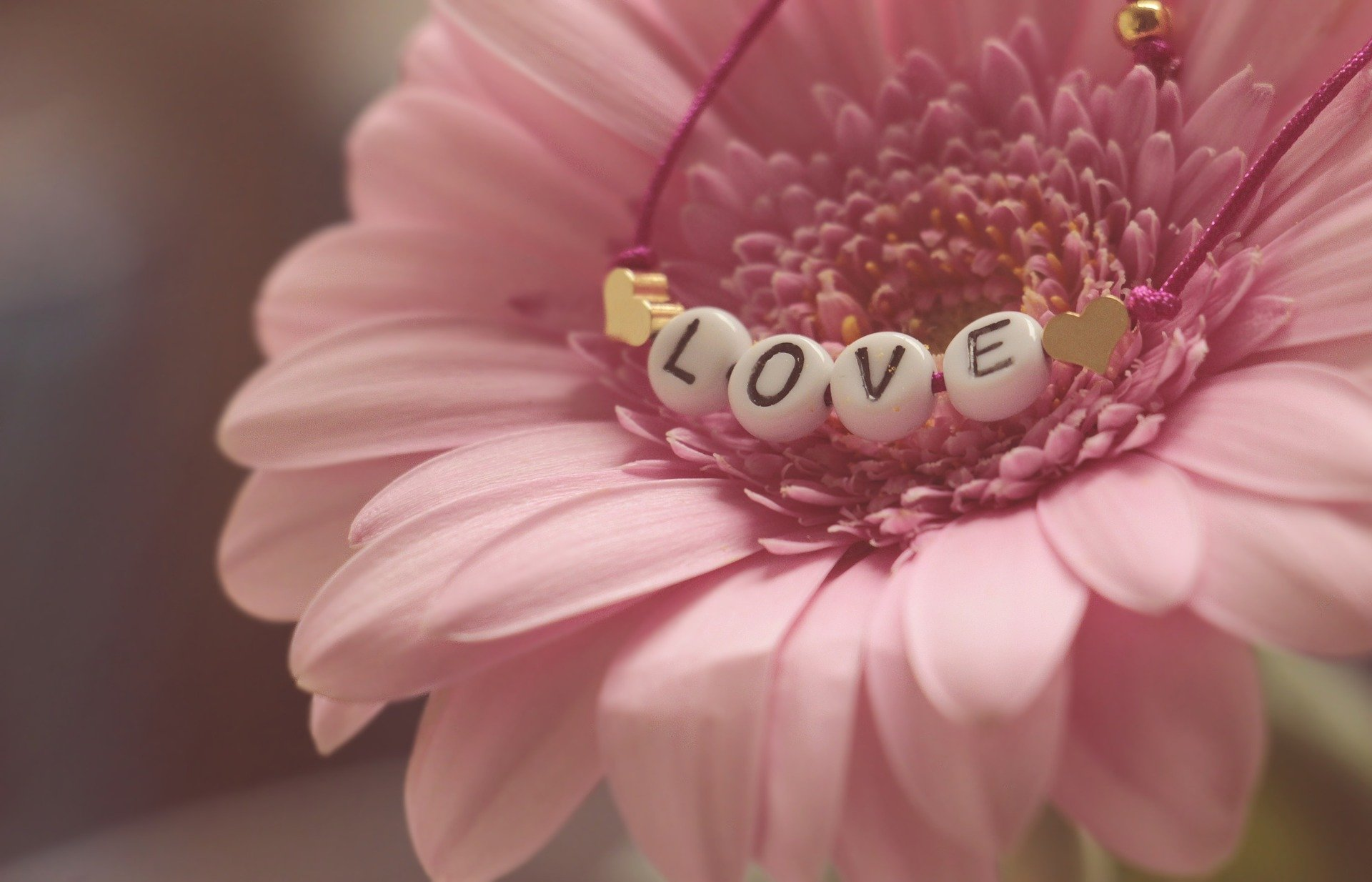gerbera love